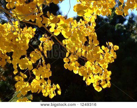 Shimmering Golden Aspen Leaves