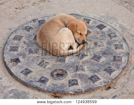 Stray puppy dog on the sewer cover