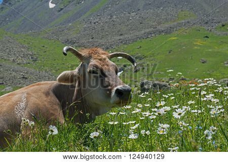Cows have a rest on alpine meadow. White pyrethrum flowers in foreground.