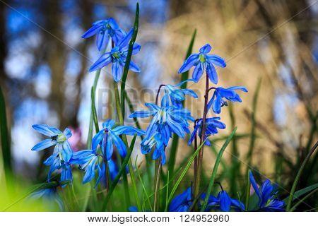 Wild blue flowers in spring forest - scilla bifolia