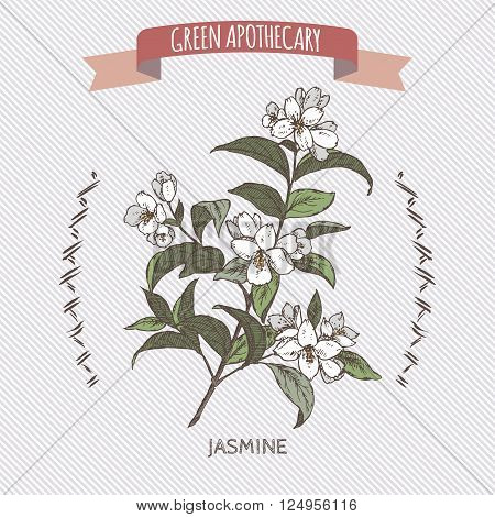 Color Jasminum officinale aka common jasmine sketch. Green apothecary series. Great for traditional medicine, cooking or gardening.