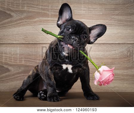 Funny dog with a flower in his mouth. French bulldog puppy. Background wood. Flower rose pink