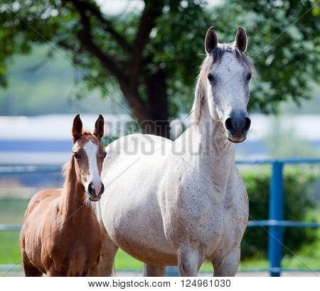 Arabian mare and foal portrait, square photo