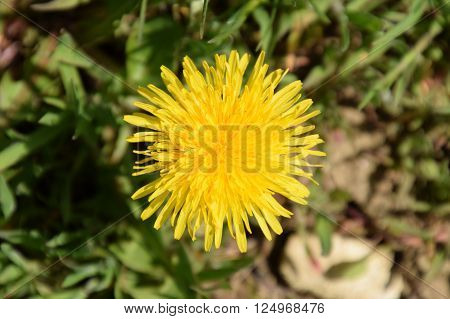 Bright Yellow Dandelion Flower In The Grass.