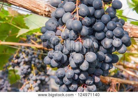 fresh bunch of purple grapes in farm