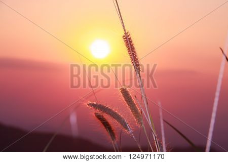 reeds flower with beautiful sunset on evening