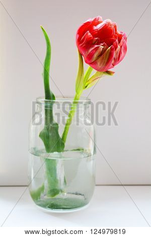 red Tulip in vase , festive decoration for interior