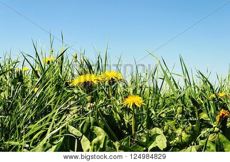 Yellow dandelions among green grass on spring meadow sunny spring day