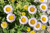 Erigeron glaucus is a species of flowering plant in the daisy family known by the common name seaside fleabane, beach aster, or seaside daisy. poster