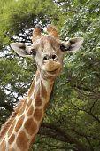 An inquisitive giraffe Giraffa camelopardalis stares down from above poster