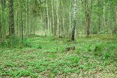 Wild forest covert. Nature trees in spring forest. poster