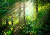 Magical Deep foggy Forest. Park. Beautiful Scene Misty Old Forest with Sun Rays, Shadows and Fog poster