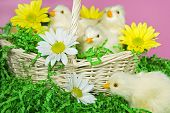 Baby Easter chicks and daisies in wicker basket. poster