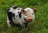 little spotted piglet on background of fresh green meadow poster