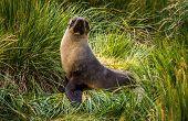 Antarctic fur seal posing in tussock grass poster