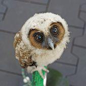 closeup of  ural owl or strix uralensis bird poster