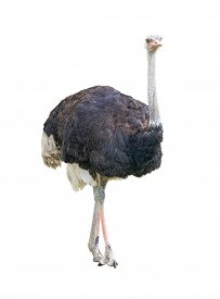 African two-toed ostrich (Struthio camelus) isolated on white background