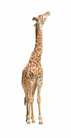 African giraffe raise head looking up isolated on white background