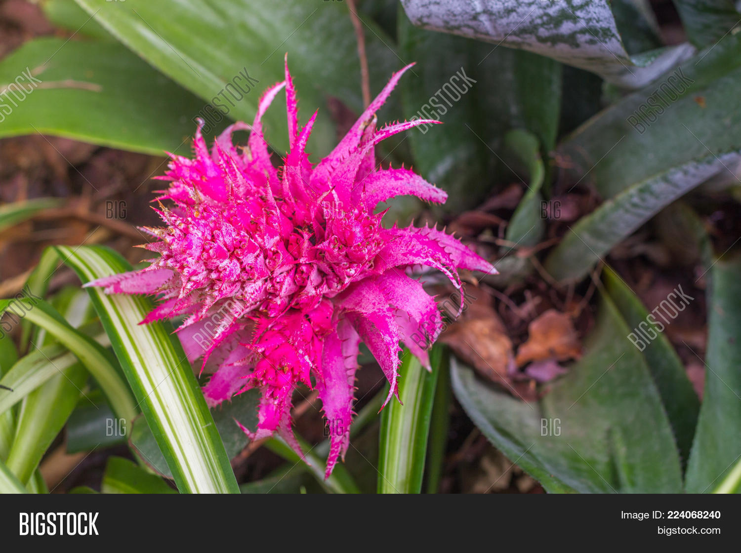 Pink Bromeliad Image Photo Free Trial Bigstock