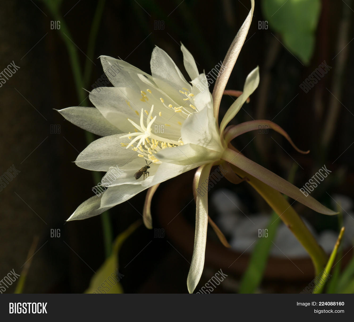 White flower queen image photo free trial bigstock white flower queen of night epiphyllum oxypetalum with a bee pollinating nocturnal very fragrant flower mightylinksfo