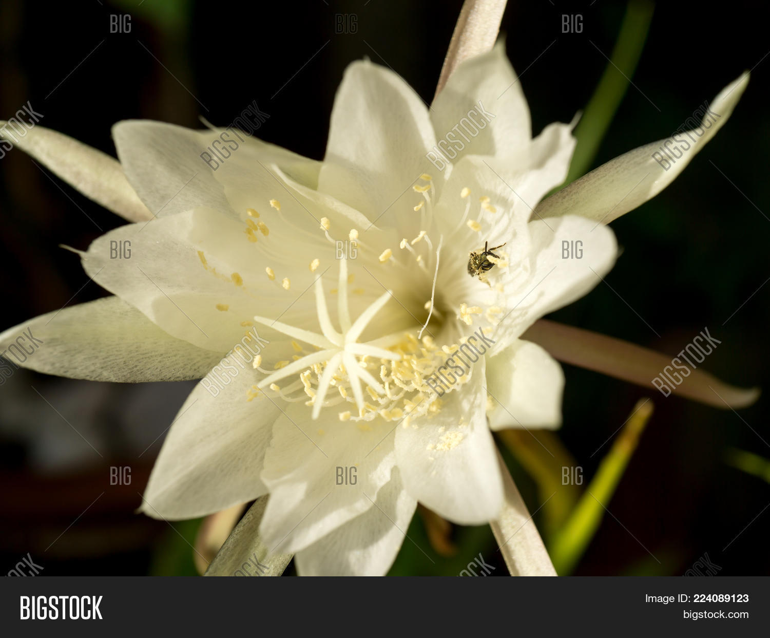 White Flower Queen Image Photo Free Trial Bigstock
