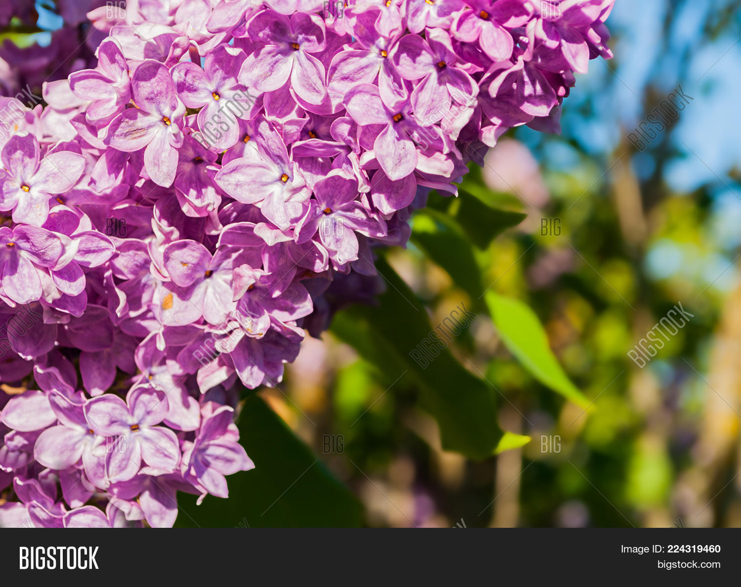 Spring Lilac Flowers Image Photo Free Trial Bigstock