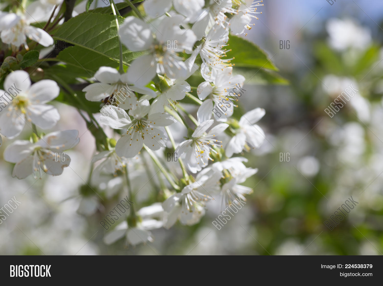 White flowers cherry image photo free trial bigstock white flowers cherry tree white flowers cherry tree flowers cherry tree blossomed honey mightylinksfo