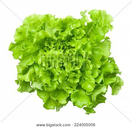 Lettuce head isolated on white background. Batavia salad. Top view