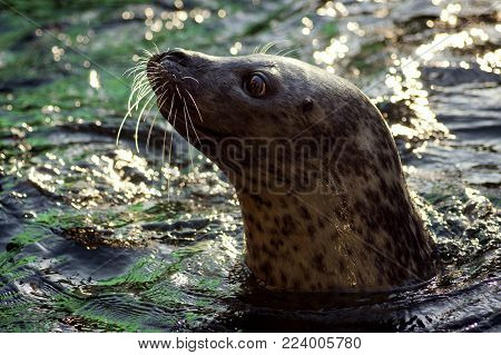 The seal is looking from water, profile view, side view.