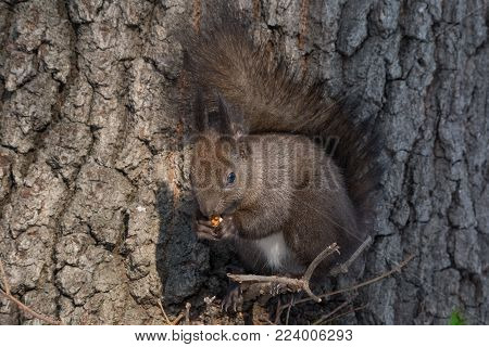 Eastern gray squirrel (Sciurus carolinensis) eating on tree trunk. Selective focus