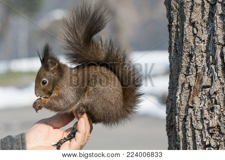 Squirrel eats from the hand. The squirrel trusts the person
