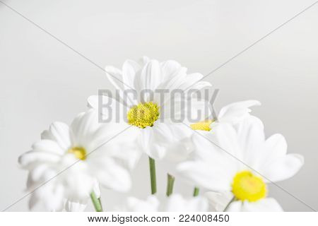 Bunch of White Daisy flowers  on bright  background close up. Spring Daisy flowers