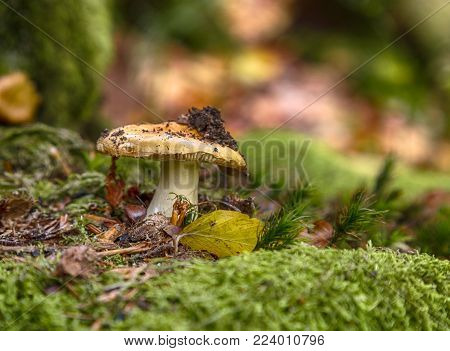 Boletus edulis is edible mushroom. Pporcini on moss in forest. Healthy and delicates food. Picking mushrooms in the autumn forest