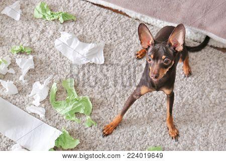 Mischievous toy terrier and torn paper indoors poster