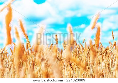 Ears of golden wheat closeup. Wheat field. Beautiful ears background