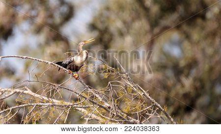 Anhinga Bird Called Anhinga Anhinga
