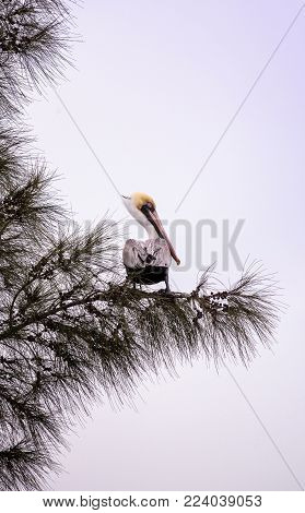Brown Pelican Called Pelecanus Occidentalis Perches In A Tree