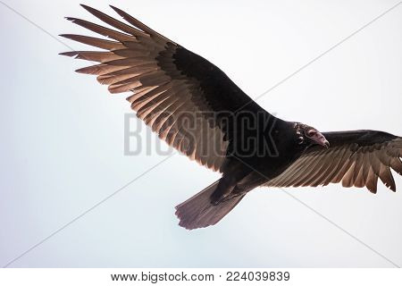 Turkey Vulture Cathartes Aura