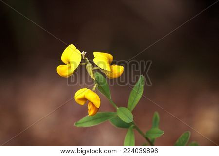 Yellow Rattlebox Flower Also Called Rattleweed Crotalaria Spectabilis
