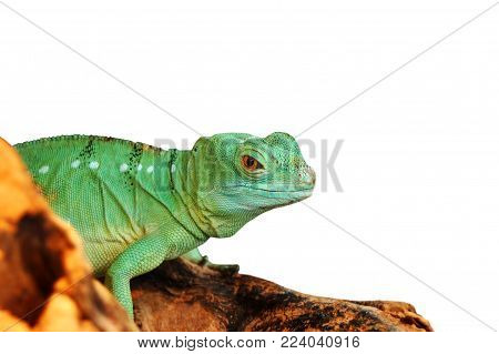 Green agama lizard, isolated on white background