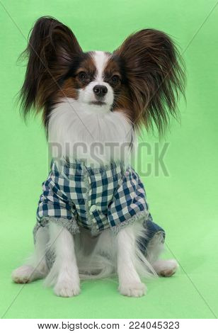 Beautiful young continental spaniel papillon in a plaid overall on a green background