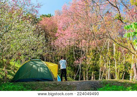 Camping tent with a Traveler looking Wild Himalayan Cherry (Pink Sakura) in moutain.