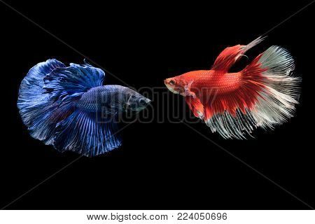 blue and red siamese fighting fish, betta splendens isolated on black background