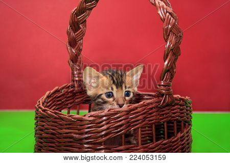 Cute bengal kitten is sitting in a wicker basket. One month old. Pet animals.