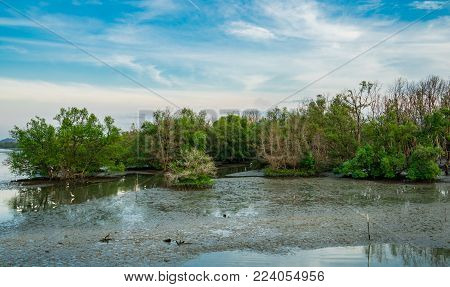 Mangrove forest with birds walking on mud. Beautiful blue sky and clouds. Mangrove ecosystem.