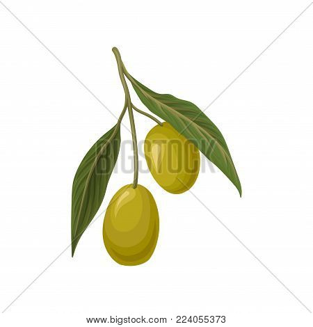 Ripe green olives with leaves vector Illustration on a white background