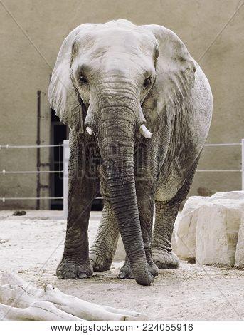 an elephant dirty, in zoo, big ears