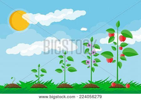 Growth of plant, from sprout to fruit. Planting tree. Seedling gardening plant. Timeline. Grass, sky with clouds and sun. Flat style vector illustration.