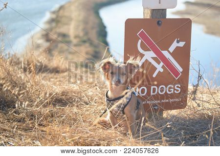 Small Chihuahua dog sitting near sign at the trailhead, with trail and water on background