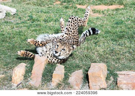Cheetah in natural habitat, Predators cat in zoo